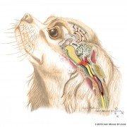 Canine Syringomyelia in King Charles Spaniel