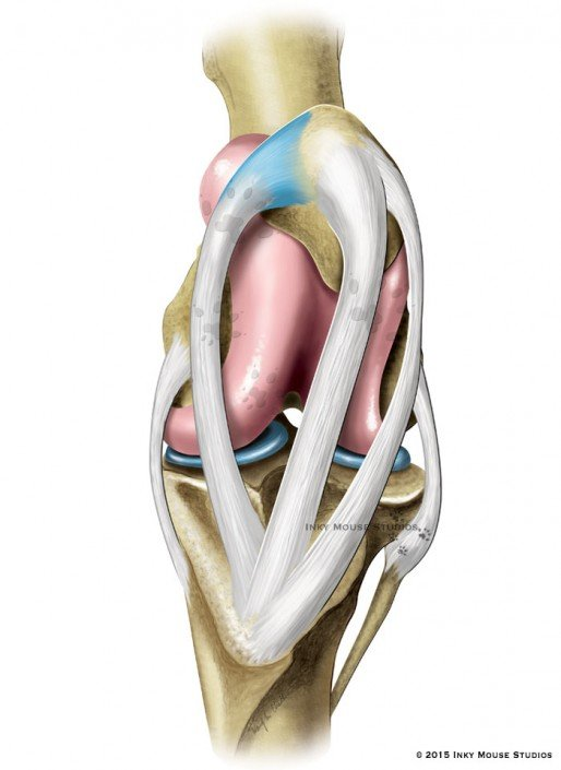 Illustration of the equine stifle joint with the patella in the locked position.