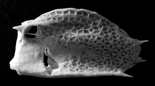 Black and white reference photo of the lateral view of a boxfish cast.