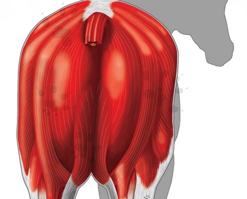 Superficial musculature of the equine hindquarters