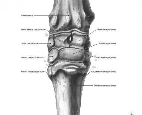 Equine carpus anterior view in greyscale