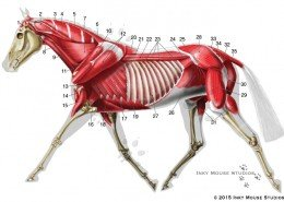 Lateral view of equine deep musculature anatomy