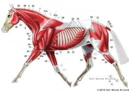 Lateral view of equine superficial musculature anatomy