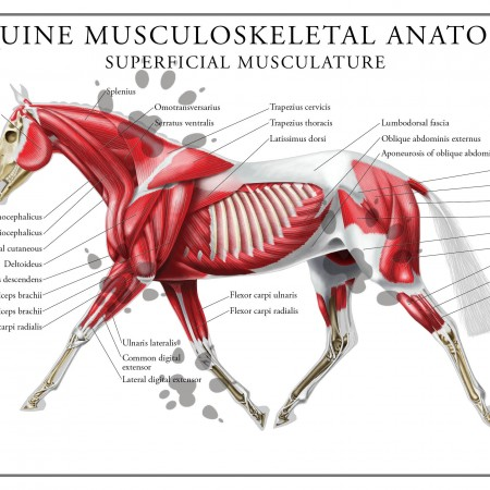 Equine superficial musculature poster