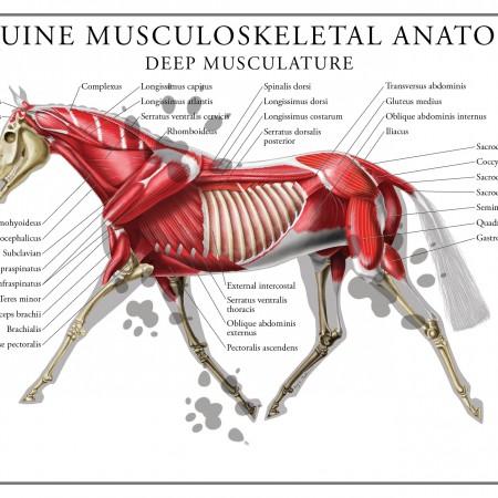 equine deep musculature poster
