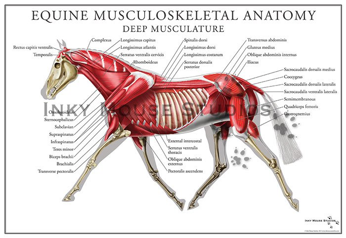Diagrams of muscular system in animals complete wiring diagrams equine deep muscular system poster rh inkymousestudios com bicep diagram integumentary system diagram ccuart Images