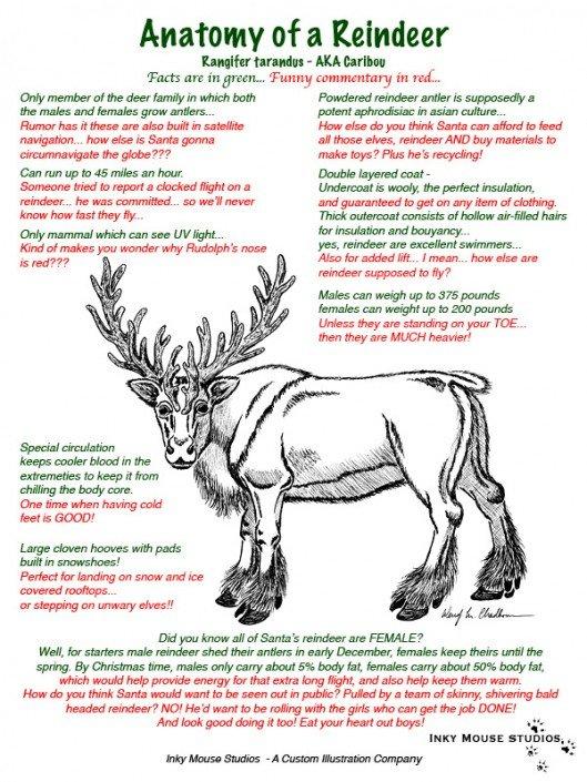 Anatomy of a reindeer illustration