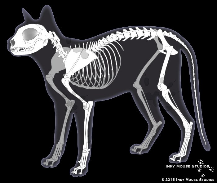 Feline Anatomy Archives - Custom and stock veterinary, medical and ...