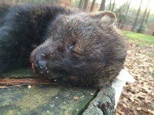 Fisher cat facial details