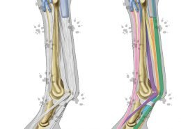 Equine distal limb anatomy
