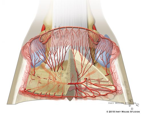 Illustration of the Dorsopalmar View Arterial Circumflex Vessels