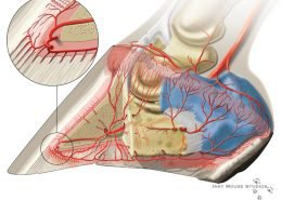 Lateral View Arterial Circumflex Junction