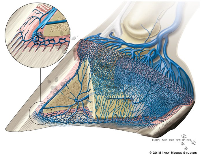 Biomechanical Pump Venous Drainage Equine Hoof