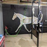 Veterinary wall art completed installation clinical anatomy