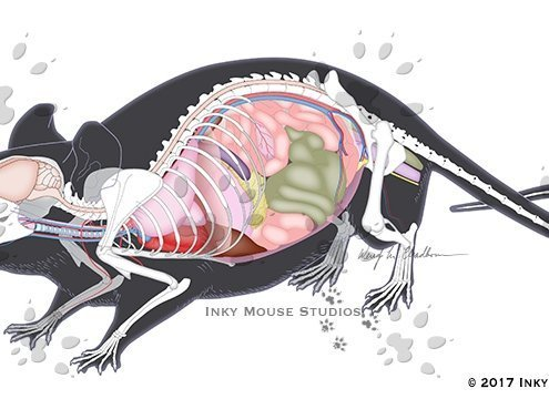 Mouse Anatomy Map Highlighted